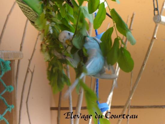 Nuage (perruche ondulée de couleur)