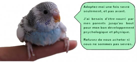Adoptez votre perroquet une fois sevre seulement