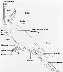 l-anatomie-des-calopsittes.jpg