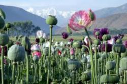 pavot-a-opium.jpg