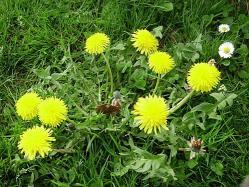 pissenlits-fleurs3.jpg
